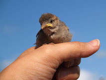 Little bird. Little newborn bird on hand royalty free stock photos