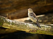 Little bird Stock Photography