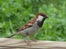Little Bird. Little mountain sparrow with colourful wings Royalty Free Stock Images
