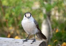 Little bird. Bird perched on a wooden fence Royalty Free Stock Photos