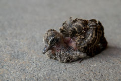 Little bird baby zebra dove stand alone Royalty Free Stock Photography