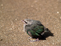 Little bird on beach. (costa rica royalty free stock image