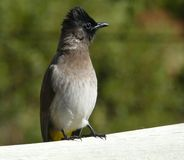 Little bird: Black-eyed Bulbul. Little bird sitting on a wooden fence (black-eyed bulbul: Pycnonotus Barbatus Stock Images