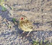 Little bird blackbird chick. On the ground with open beak Royalty Free Stock Photo