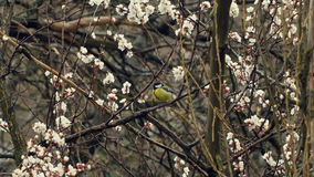 Little Bird on Blossom Tree. Blossom Tree Branches in spring stock video
