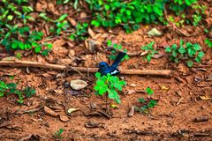 Little bird with blueblack-white feathering in the Yala Nationalpark. On the tropical island Sri Lanka in the Indian Ocean during a jeep safari tour Stock Photography