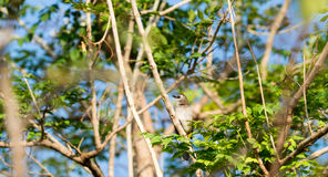 A little bird is on a branch. Royalty Free Stock Image