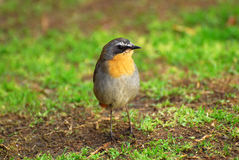 Little bird - Cape Robin Chat royalty free stock images