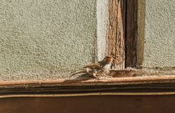 A little bird on a cornice. Is needing food. France, Colmar royalty free stock photo