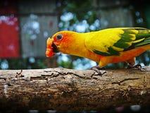 A little bird. A bird eats papaya on the log Royalty Free Stock Photography