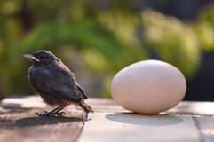 Little bird and egg Royalty Free Stock Image