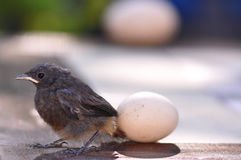 Little bird and egg Stock Images