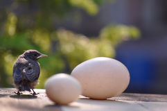 Little bird and eggs Stock Photography