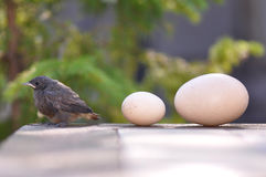 Little bird and eggs Stock Photo