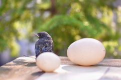 Little bird and eggs Royalty Free Stock Photography