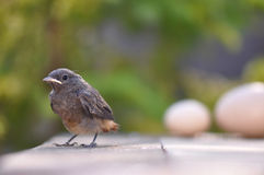 Little bird and eggs. Little bird and huge eggs. Phoenicurus ochruros from Muscicapidae family Royalty Free Stock Photos