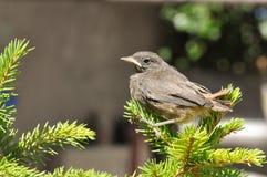 Little bird. On a fir tree. Phoenicurus ochruros from Muscicapidae family Stock Photography