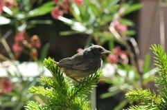Little bird. On a fir tree. Phoenicurus ochruros from Muscicapidae family Stock Photos