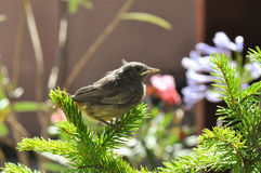 Little bird. On a fir tree. Phoenicurus ochruros from Muscicapidae family Royalty Free Stock Image