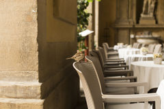 Little bird in Florence cafe Royalty Free Stock Image