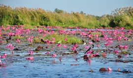 Little bird on a flower in the vast sea of blooming  Red Waterlily cover the crystal surface of Nongharn Lake Stock Images