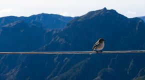 Little bird at high altitude. A little bird getting close at 1861m altitude on Pico Ruivo royalty free stock photo
