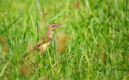 Little bird. In the grass Royalty Free Stock Image