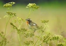 Little bird on grass. Beautiful little bird in summer meadow, Lithuania Royalty Free Stock Photos