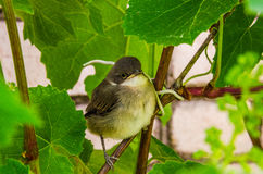 Little bird in green leaves. The little bird sits in green leaves Royalty Free Stock Photos