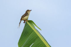 A little bird hang on leaf Stock Image