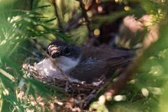 Little bird hatching eggs in a nest royalty free stock images