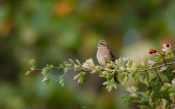 Little bird on its branch royalty free stock images