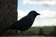 Little bird Jackdaw looking over the countryside on top of Blarney Castle, Ireland Royalty Free Stock Image