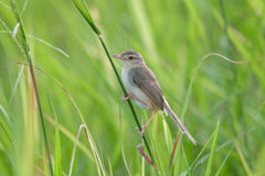 Little bird on leaf rice plant. Royalty Free Stock Photo