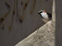 Free Little Bird Looking Out From A Wall Stock Image - 51597601
