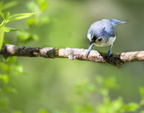 Curious Little Bird Looking Royalty Free Stock Images
