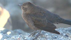 Little bird making noise Westcoast, California, United States stock video footage