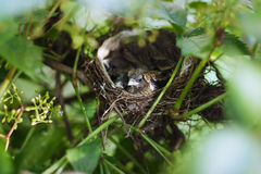 Little Bird Nestlings Stock Photography