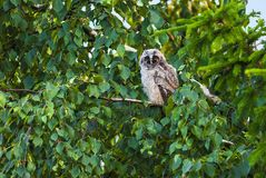 A little bird owls sitting on a branch of a tree in the daytime. A little bird owls sitting on a tree branch in the daytime. Tver oblast. Russia Royalty Free Stock Photo