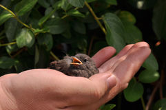 Little bird on palm. Little bird sitting on human palm. Phoenicurus ochruros from Muscicapidae family Stock Images