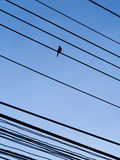 The Little Bird Perched on Many Wire Lines Oblique Stock Photo