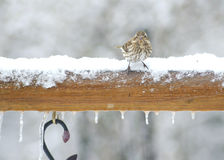 Little bird perches in the snow. Royalty Free Stock Photo