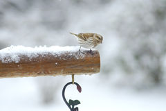 Little bird perches in the snow. Stock Image