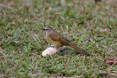 Little bird. Perching on cornstalk Royalty Free Stock Photos