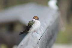 Little Bird Royalty Free Stock Images