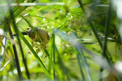 Little bird is playing in tree, Reunion Island. Little bird is playing in tree at Reunion Island Stock Images