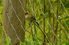 Little bird possing on a metal fence. Little patagonian bird possing on a fence with plants and trees behind Royalty Free Stock Photos