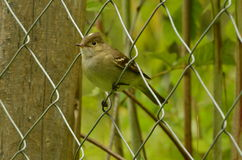 Little bird possing on a metal fence. Little patagonian bird possing on a fence with plants and trees behind Royalty Free Stock Photography
