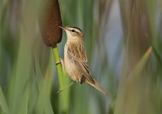 Little bird in the reeds Stock Images