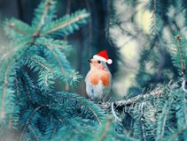 Little bird Robin in Christmas red cap sitting in the branches o royalty free stock photo